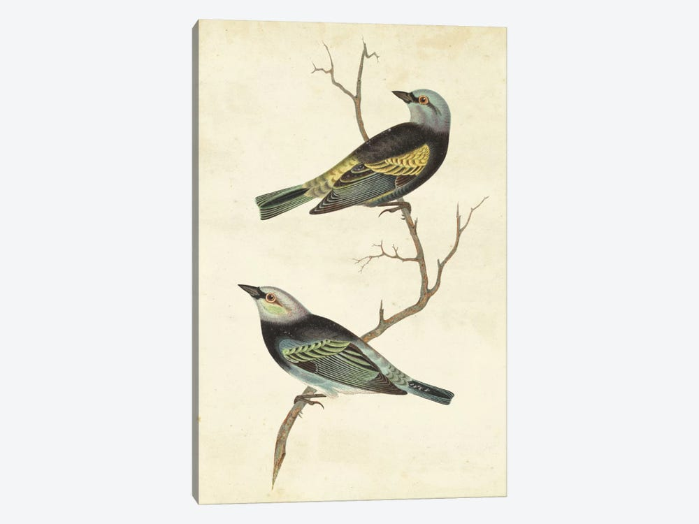 Blue-Headed Tanager by Cassin 1-piece Canvas Print