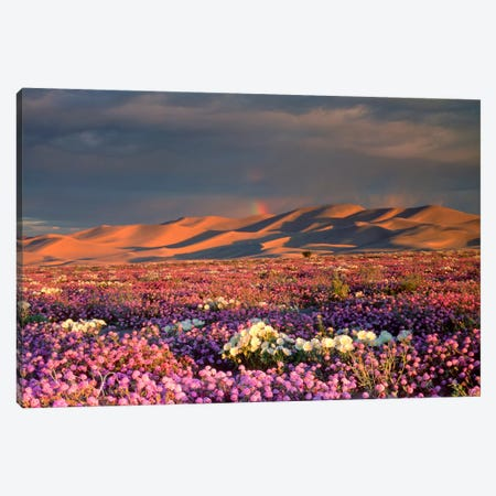 Distant Rainbow And Wildflower Field, Dumont Dunes, Mojave Desert, California, USA Canvas Print #CTF10} by Christopher Talbot Frank Canvas Wall Art
