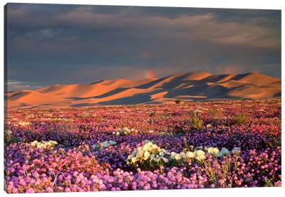 Distant Rainbow And Wildflower Field, Dumont Dunes, Mojave Desert, California, USA Canvas Art Print