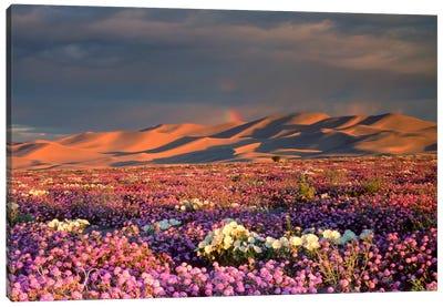 Distant Rainbow And Wildflower Field, Dumont Dunes, Mojave Desert, California, USA Canvas Art Print