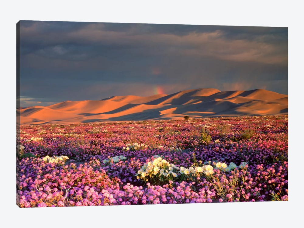 Distant Rainbow And Wildflower Field, Dumont Dunes, Mojave Desert, California, USA by Christopher Talbot Frank 1-piece Canvas Wall Art