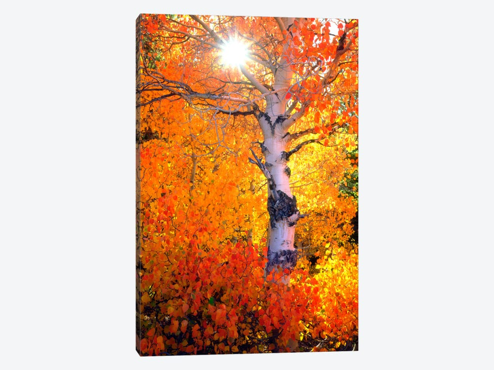 Colorful Aspen Tree In Autumn, Sierra Nevada, California, USA by Christopher Talbot Frank 1-piece Canvas Print