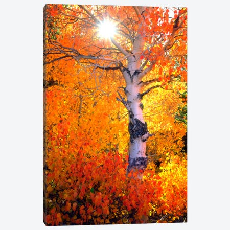 Colorful Aspen Tree In Autumn, Sierra Nevada, California, USA Canvas Print #CTF13} by Christopher Talbot Frank Canvas Artwork