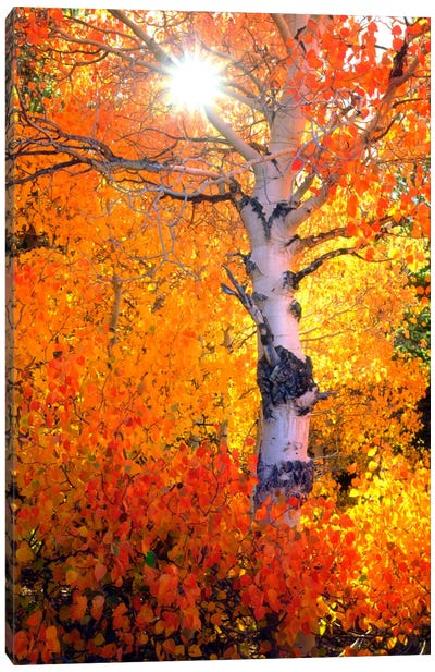 Colorful Aspen Tree In Autumn, Sierra Nevada, California, USA Canvas Art Print