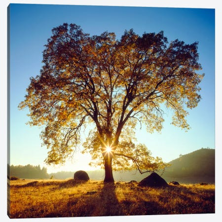 Majestic Black Oak Under An Autumn Sunrise, Cleveland National Forest, California, USA Canvas Print #CTF9} by Christopher Talbot Frank Canvas Art Print