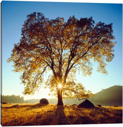 Majestic Black Oak Under An Autumn Sunrise, Cleveland National Forest, California, USA Canvas Art Print