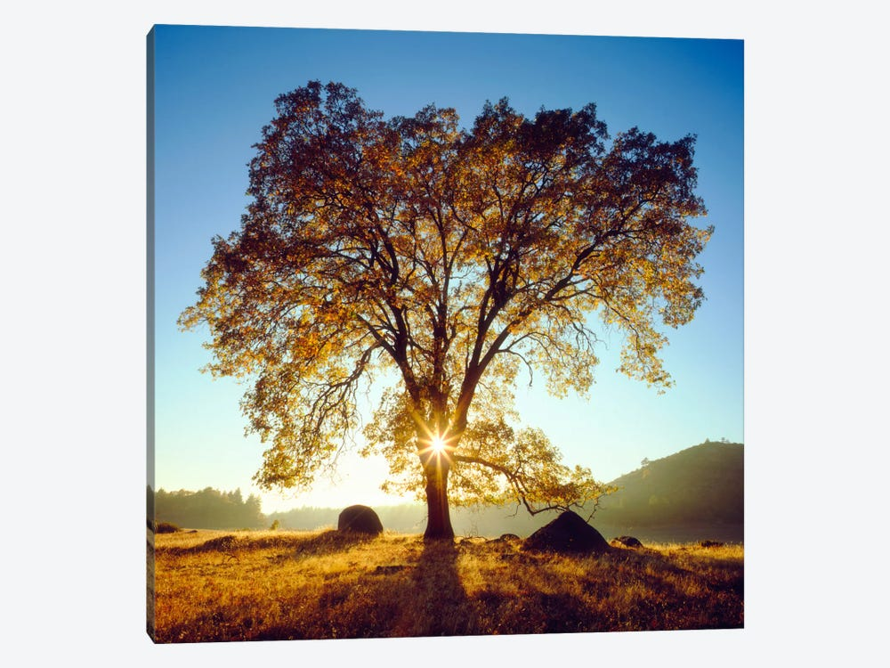 Majestic Black Oak Under An Autumn Sunrise, Cleveland National Forest, California, USA by Christopher Talbot Frank 1-piece Canvas Artwork