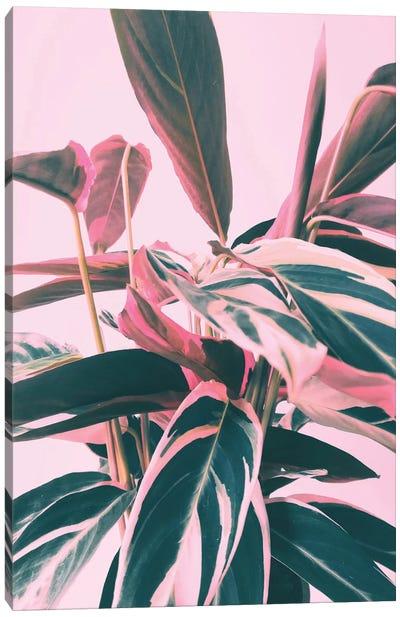 Pink Kalathea I Canvas Art Print