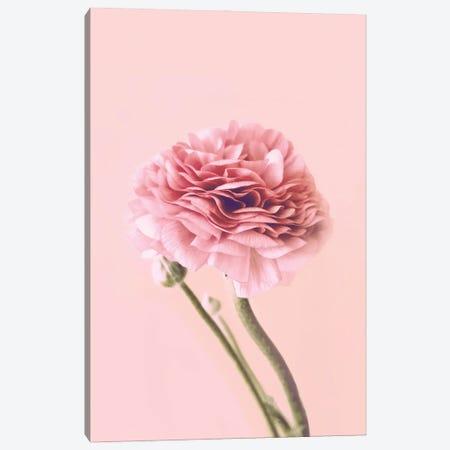 Pink Buttercup Canvas Print #CTI295} by Emanuela Carratoni Canvas Print