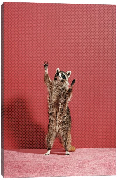 Raccoon Reaching Canvas Art Print