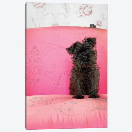 Brownie On Pink Chair Canvas Print #CTL18} by Catherine Ledner Canvas Artwork