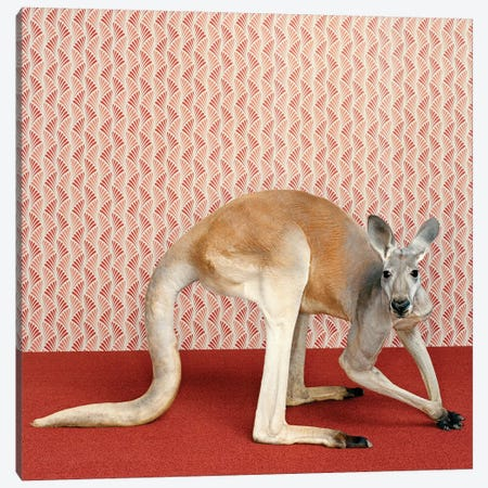 Kangaroocrouching Canvas Print #CTL67} by Catherine Ledner Canvas Art