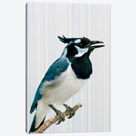 Mrbluejay Canvas Print #CTL88} by Catherine Ledner Canvas Print
