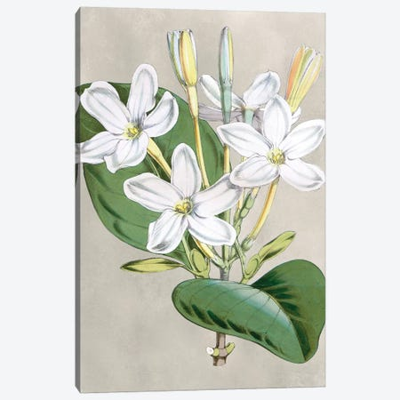 Alabaster Blooms II Canvas Print #CTS20} by Curtis Canvas Wall Art