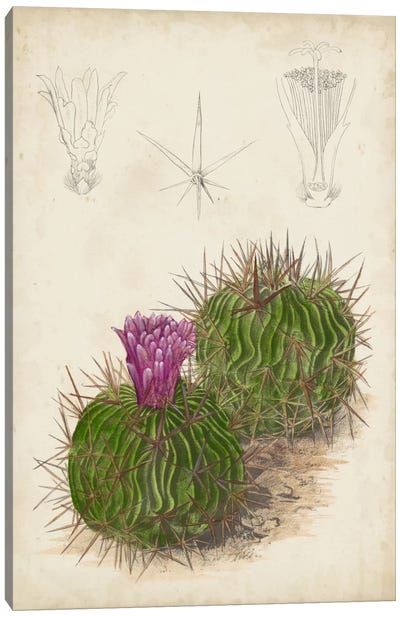 Antique Cactus II Canvas Art Print