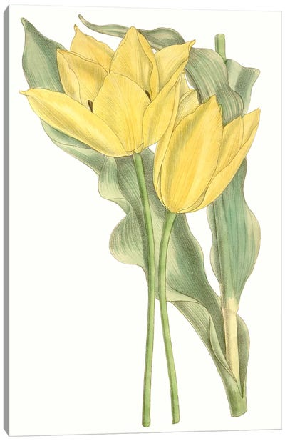 Curtis Tulips II Canvas Art Print
