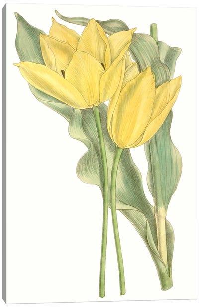Curtis Tulips II Canvas Art Print