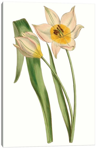 Curtis Tulips III Canvas Art Print