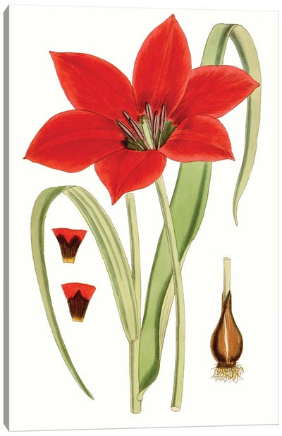 Curtis Tulips IV Canvas Art Print