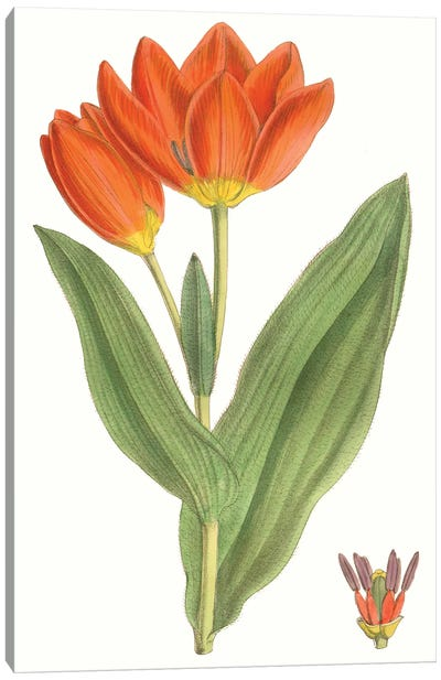 Curtis Tulips IX Canvas Art Print