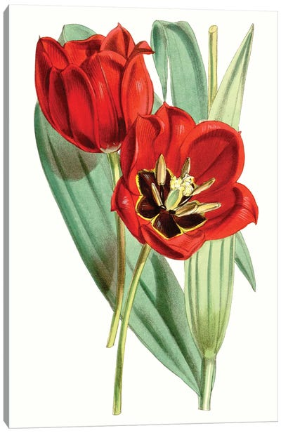 Curtis Tulips V Canvas Art Print