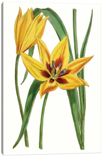 Curtis Tulips VI Canvas Art Print