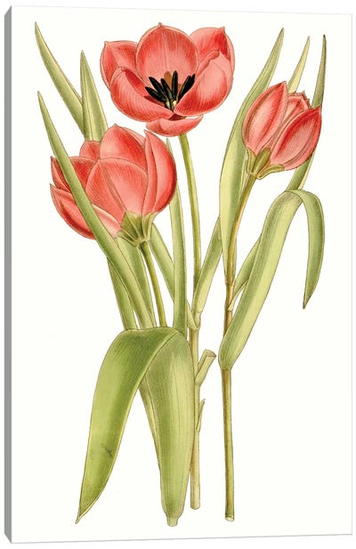 Curtis Tulips VII Canvas Art Print