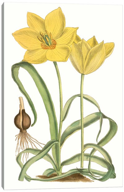 Curtis Tulips VIII Canvas Art Print