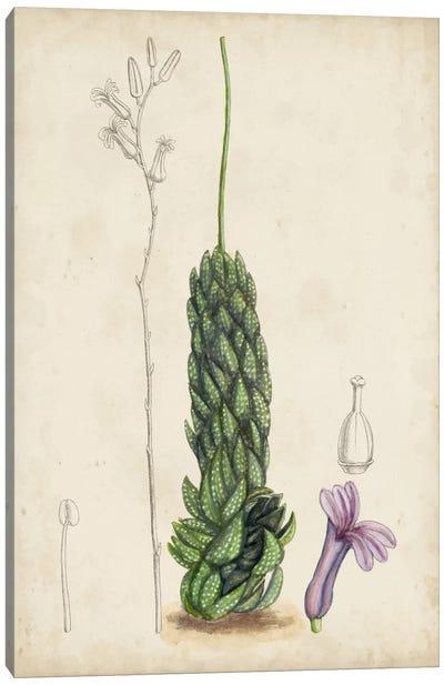Antique Cactus IV Canvas Art Print