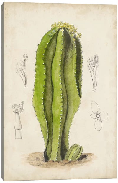 Antique Cactus VI Canvas Art Print
