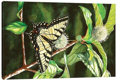 Swallowtail On Buttonbush Canvas Art Print