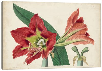 Amaryllis Splendor I Canvas Art Print