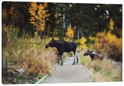 Moose Crossing Canvas Art Print