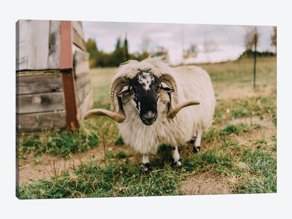 The Curious Sheep by Chelsea Victoria 1-piece Canvas Art Print