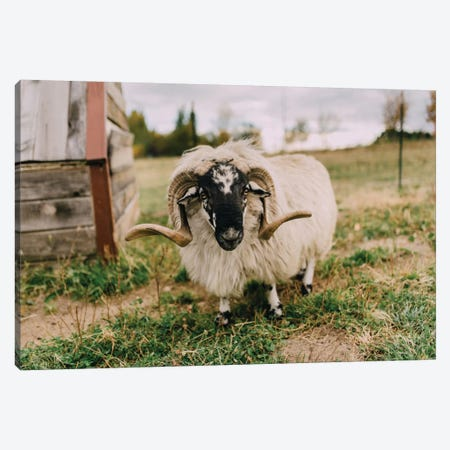The Curious Sheep Canvas Print #CVA148} by Chelsea Victoria Art Print