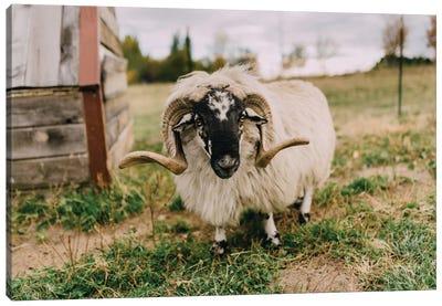 The Curious Sheep Canvas Print #CVA148