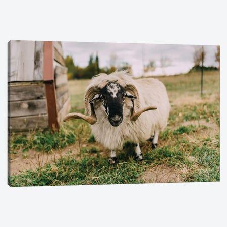 The Curious Sheep Canvas Print #CVA148} by Chelsea Victoria Art Print