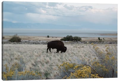 Bison In The Field Canvas Art Print