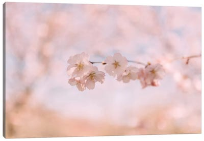 Cherry Blossom II Canvas Art Print