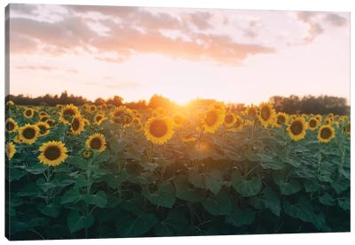 Sunflower Field And Sunset Canvas Art Print