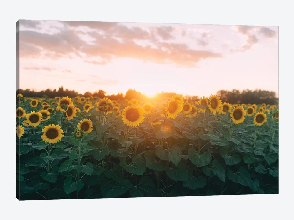 Sunflower Field And Sunset by Chelsea Victoria 1-piece Canvas Print