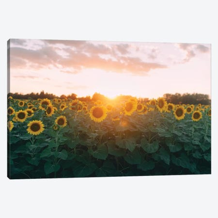 Sunflower Field And Sunset Canvas Print #CVA197} by Chelsea Victoria Canvas Print