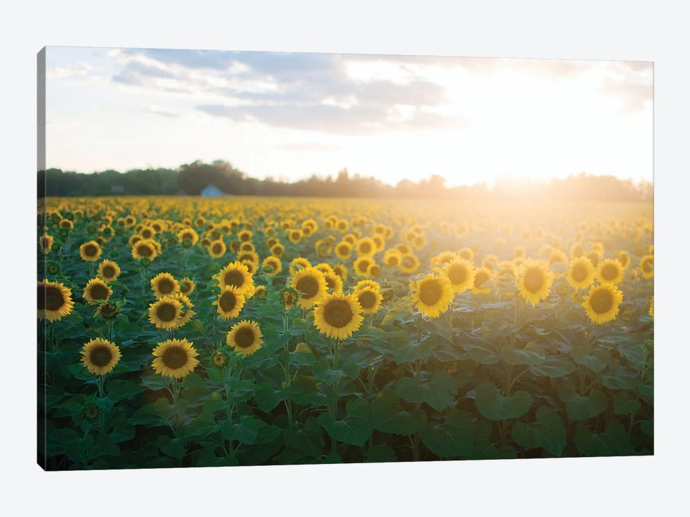 Sunflower Field I by Chelsea Victoria 1-piece Canvas Artwork