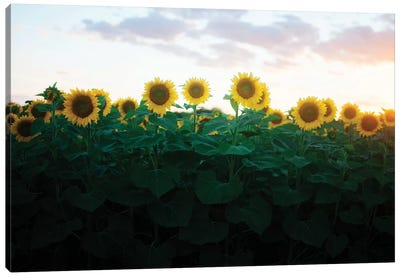Sunflowers At Sunset II Canvas Art Print