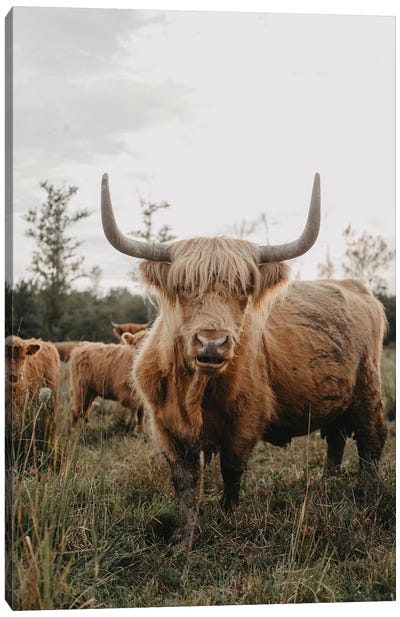 The Curious Highland Cow Canvas Art Print