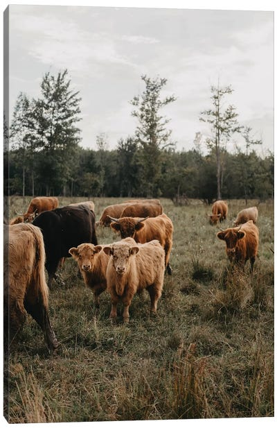 Cows in The Field Canvas Art Print