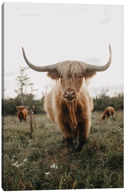 Highland Cow At Sunset Canvas Art Print