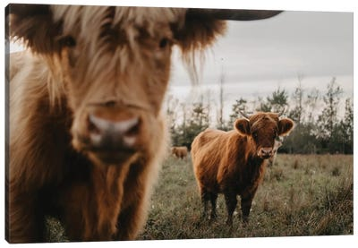 The Highland Cows Canvas Art Print