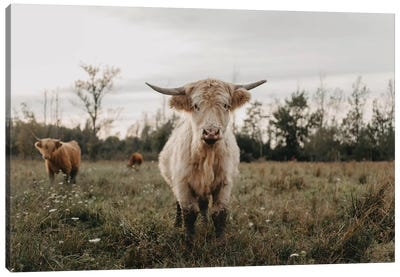 The Curious White Highland Cow Canvas Art Print