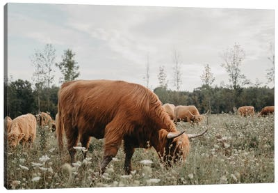 Highland Cow Grazing In The Meadow Canvas Art Print